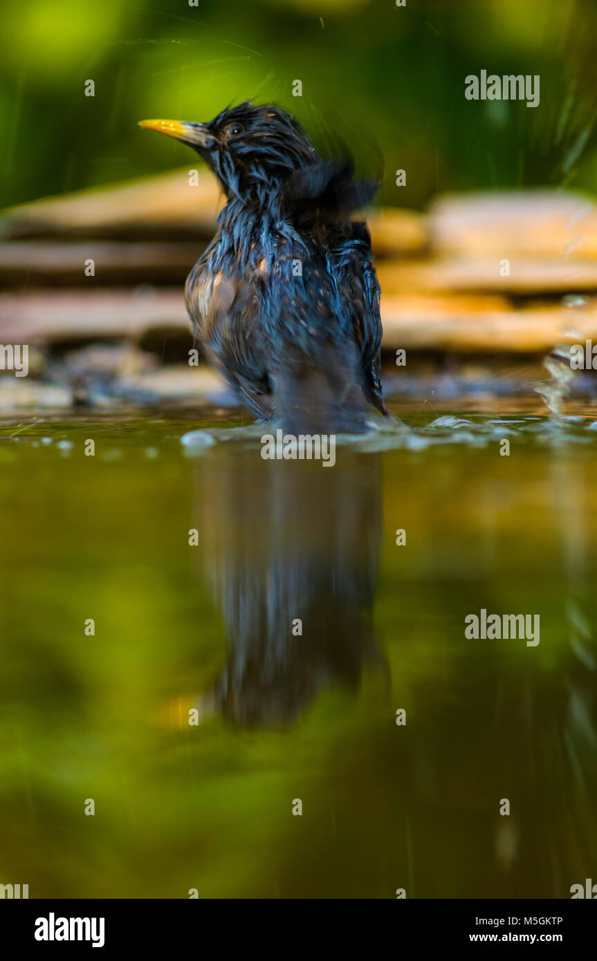 Starling (sturnus unicolor), bathing, hot summer, thristy - Stock Image