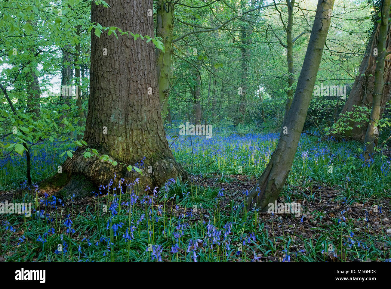 A carpet of bluebells in a woodland in Cheshire UK - Stock Image