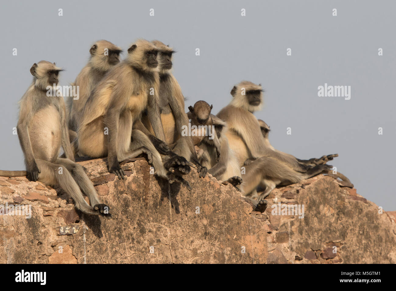 family of gray langurs that sits on the wall of an ancient Indian fort on a sunny winter day - Stock Image