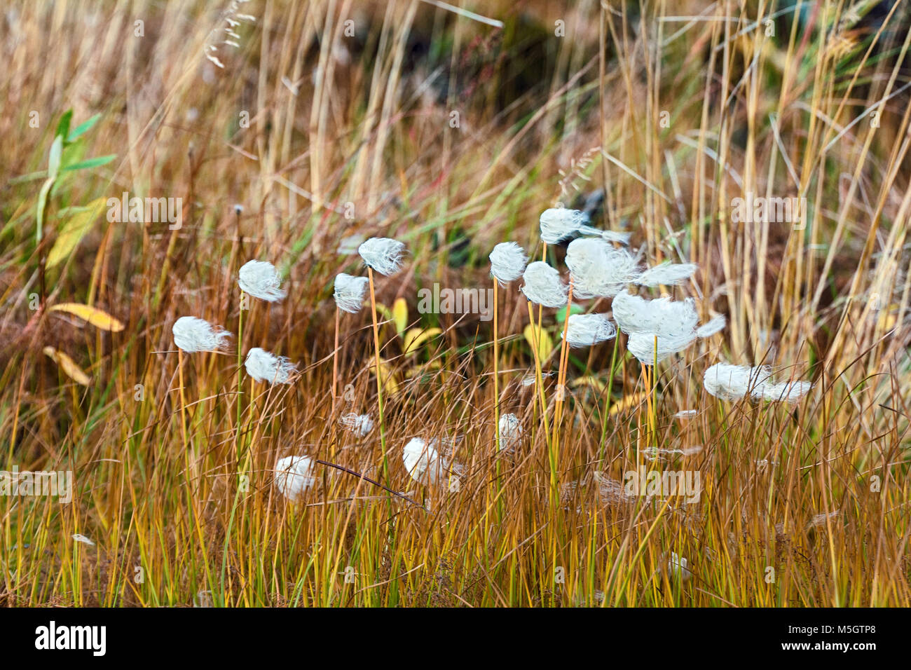 Cottongrass - her fruit blossoms resemble the heads of girls with tousled wind hair - Stock Image