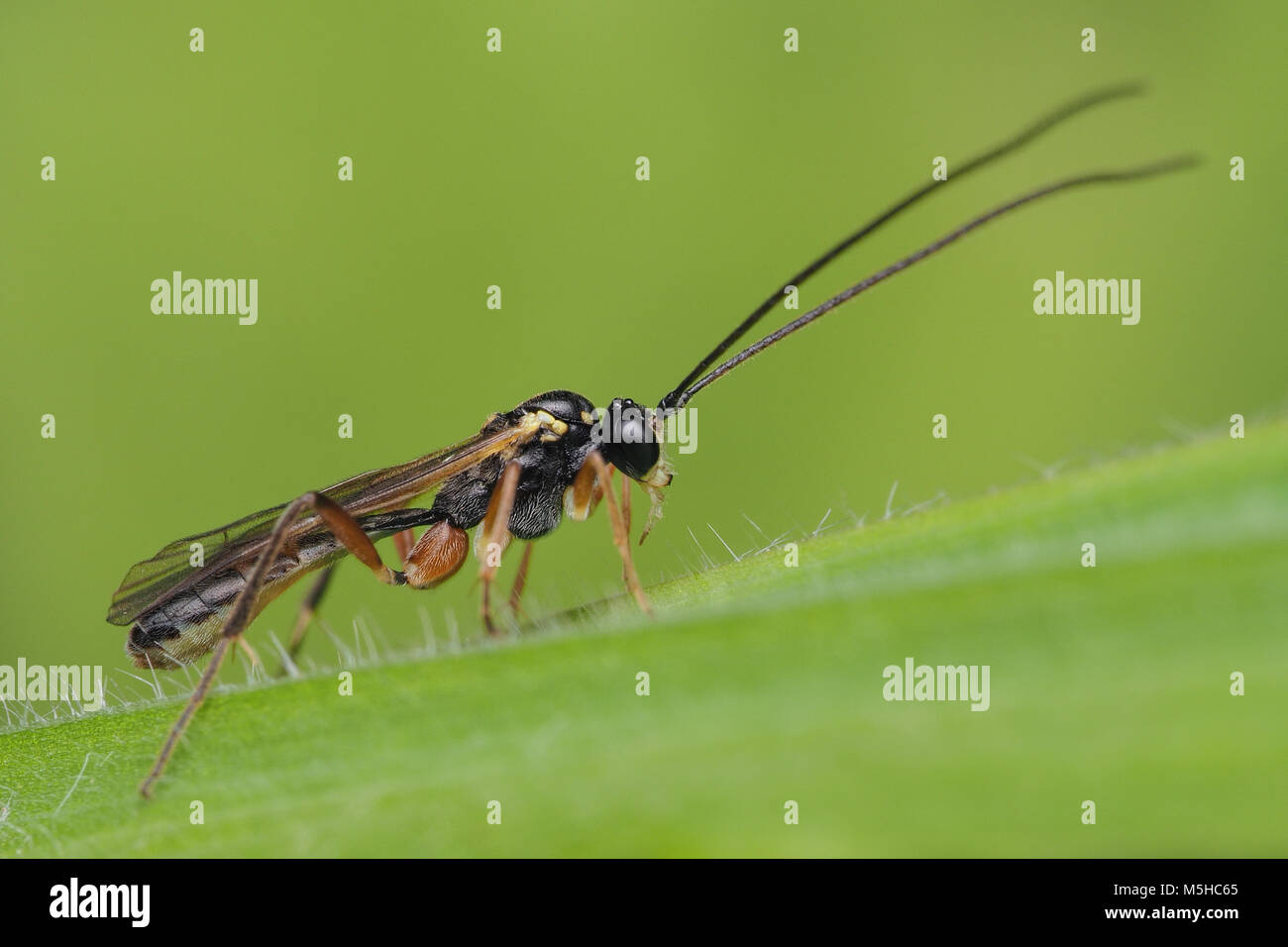 Ichneumonid Wasp perched on a blade of grass. Tipperary, Ireland - Stock Image