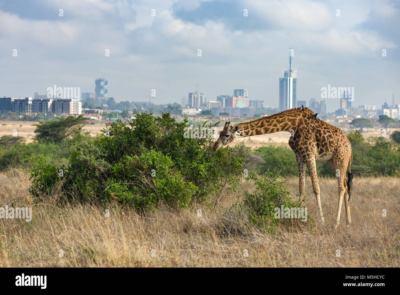 A single Masai giraffe (Giraffa camelopardalis tippelskirchi) feeding on a large bush with the Nairobi city skyline - Stock Image