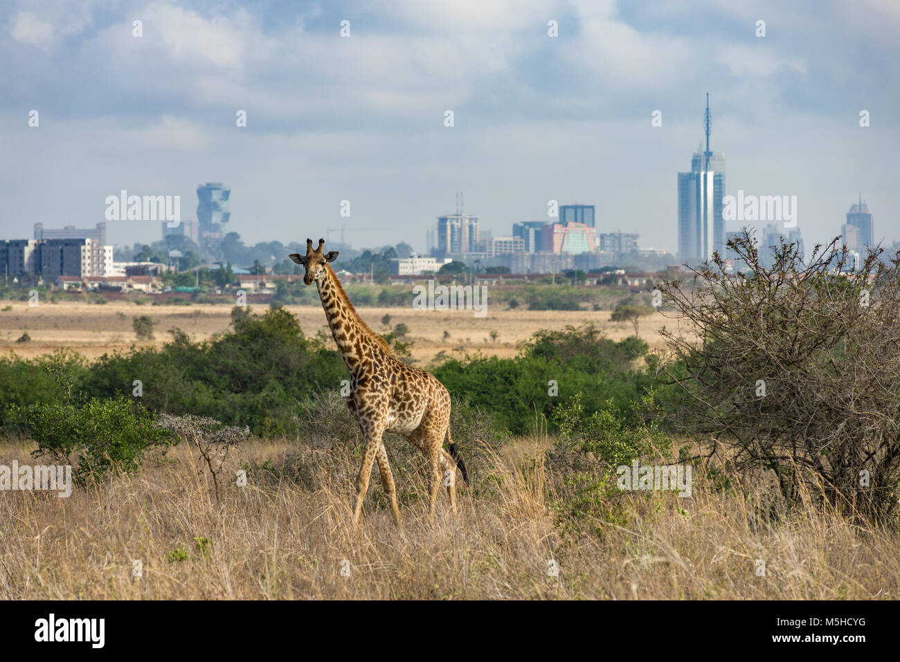 A single Masai giraffe (Giraffa camelopardalis tippelskirchi) walking through tall dry grass with the Nairobi city - Stock Image