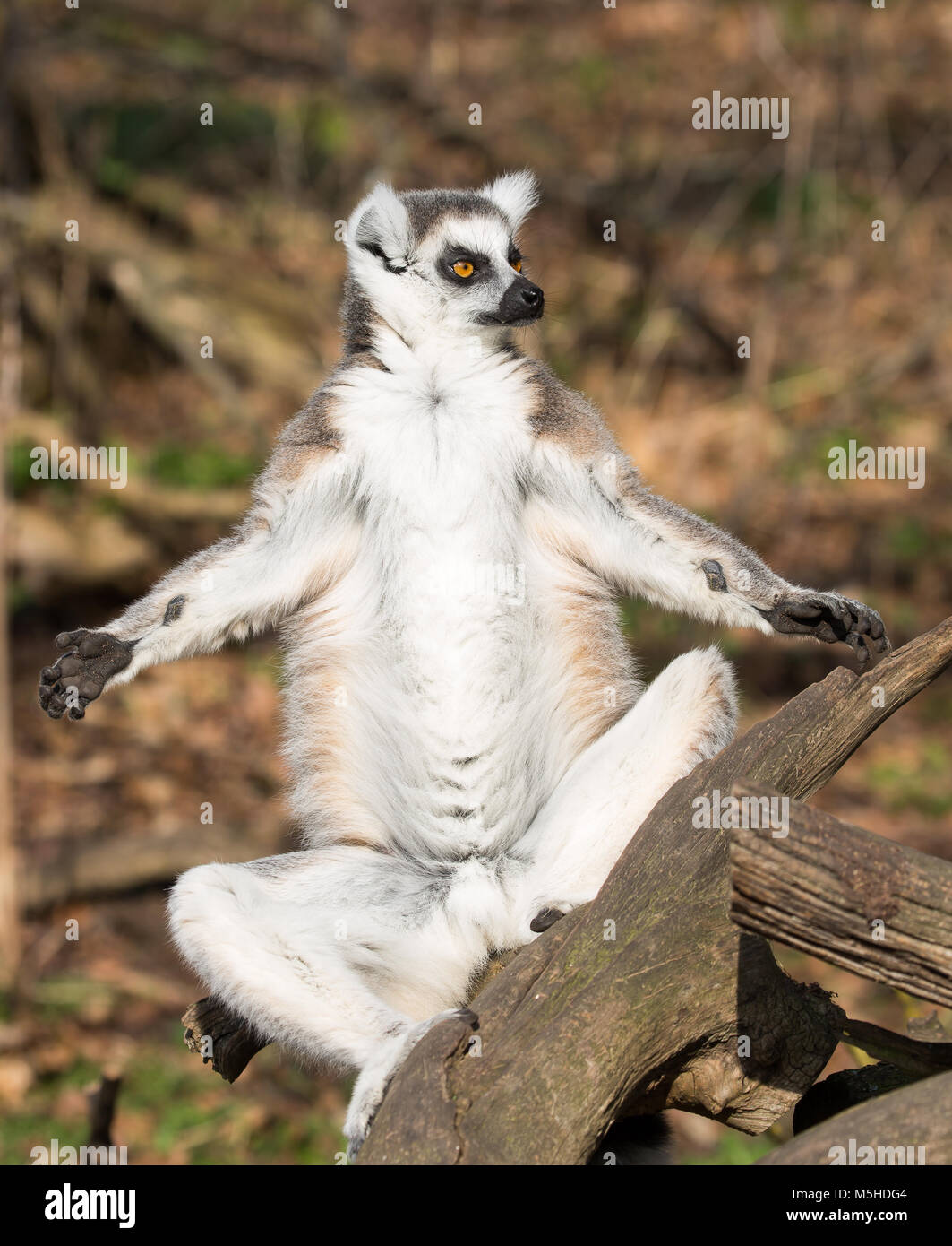 Close up single ring-tailed lemur (Lemur catta) sat on tree branch outdoors, arms & legs held out to the sides - Stock Image