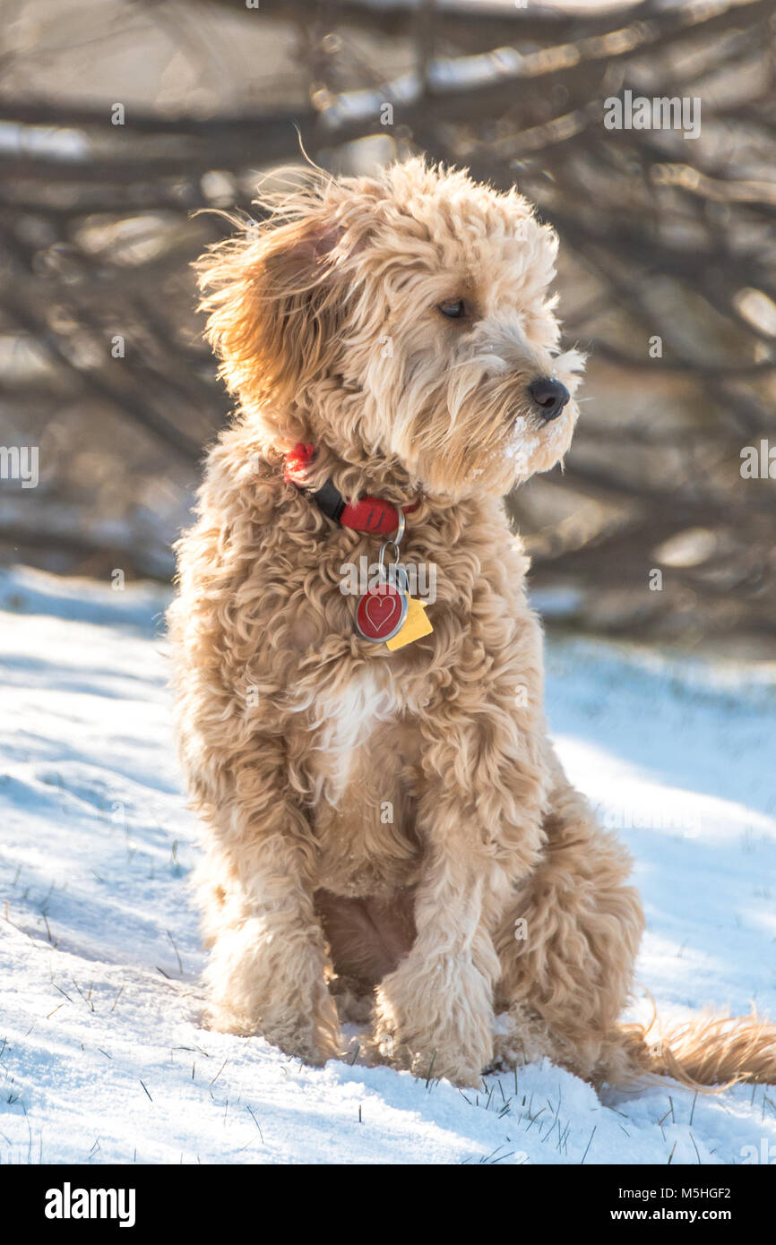 Goldendoodle puppy sitting in the snow - Stock Image