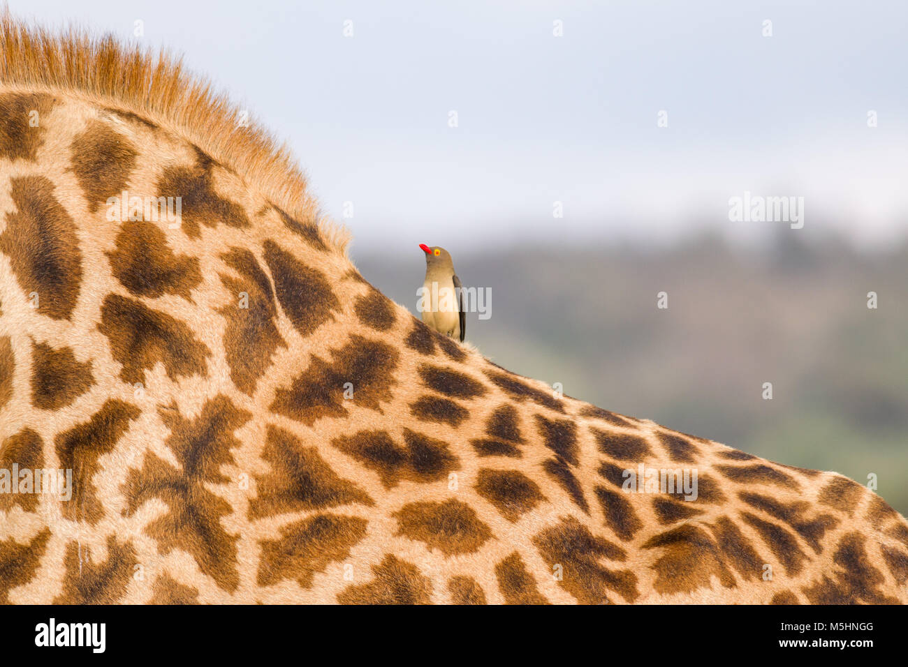 A single Red-billed oxpecker (Buphagus erythrorhynchus) perched on the back of a Masai giraffe (Giraffa tippelskirchi), - Stock Image