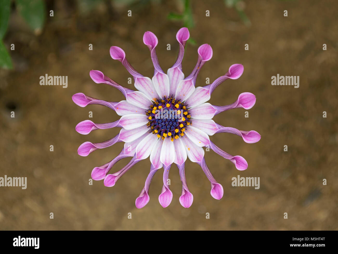 closeup of lavender African whirligig daisy flower - Stock Image