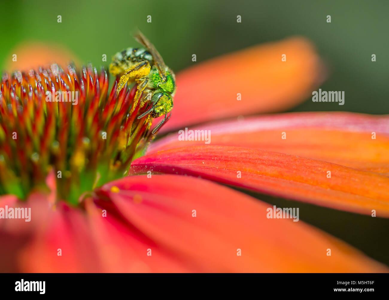 Metallic green Sweat Bee (Agapostemon) feeding on and pollinating an orange echinacea coneflower - Stock Image