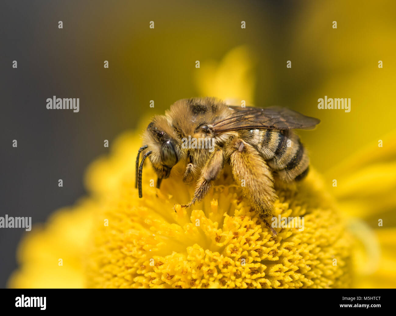 Female Long-horned Bee (Melissodes) feeding on and pollinating a yellow Sneezeweed flower (Helenium autumnale) - Stock Image
