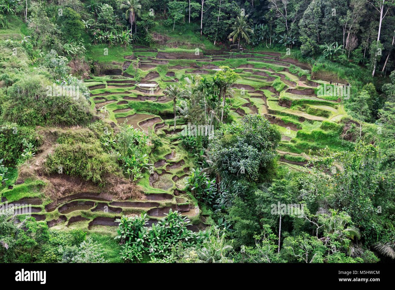 Tegallalang rice paddies, Ubud, Bali - Stock Image