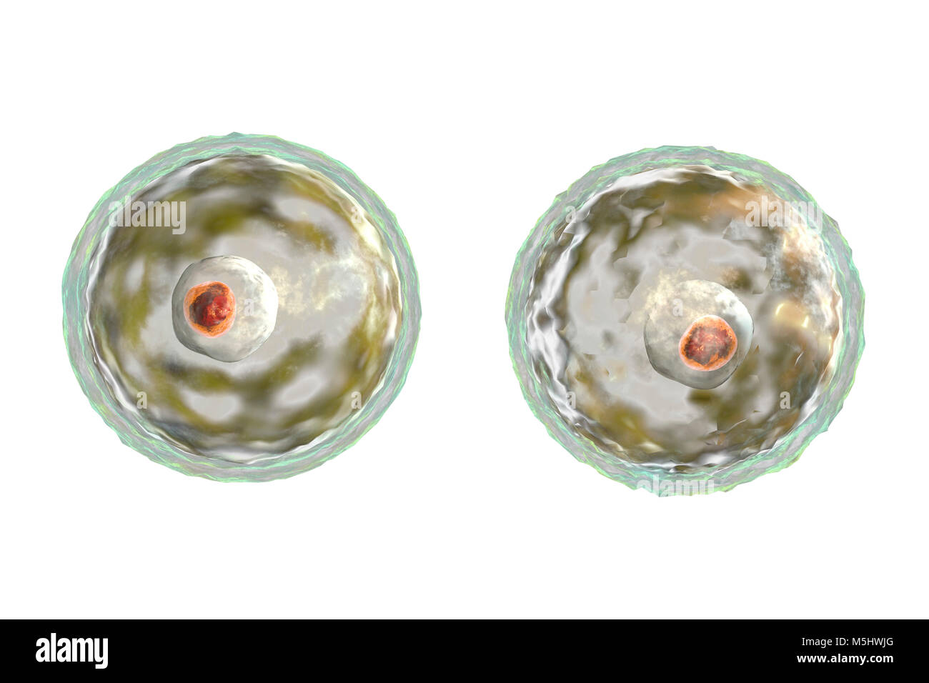 Brain-eating amoeba Naegleria fowleri protozoans in flagellate, trophozite and cyst forms, computer illustration. - Stock Image