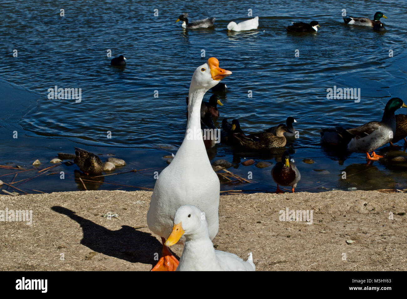 Tame geese and Ducks, Lindsey Park, Canyon, Texas - Stock Image