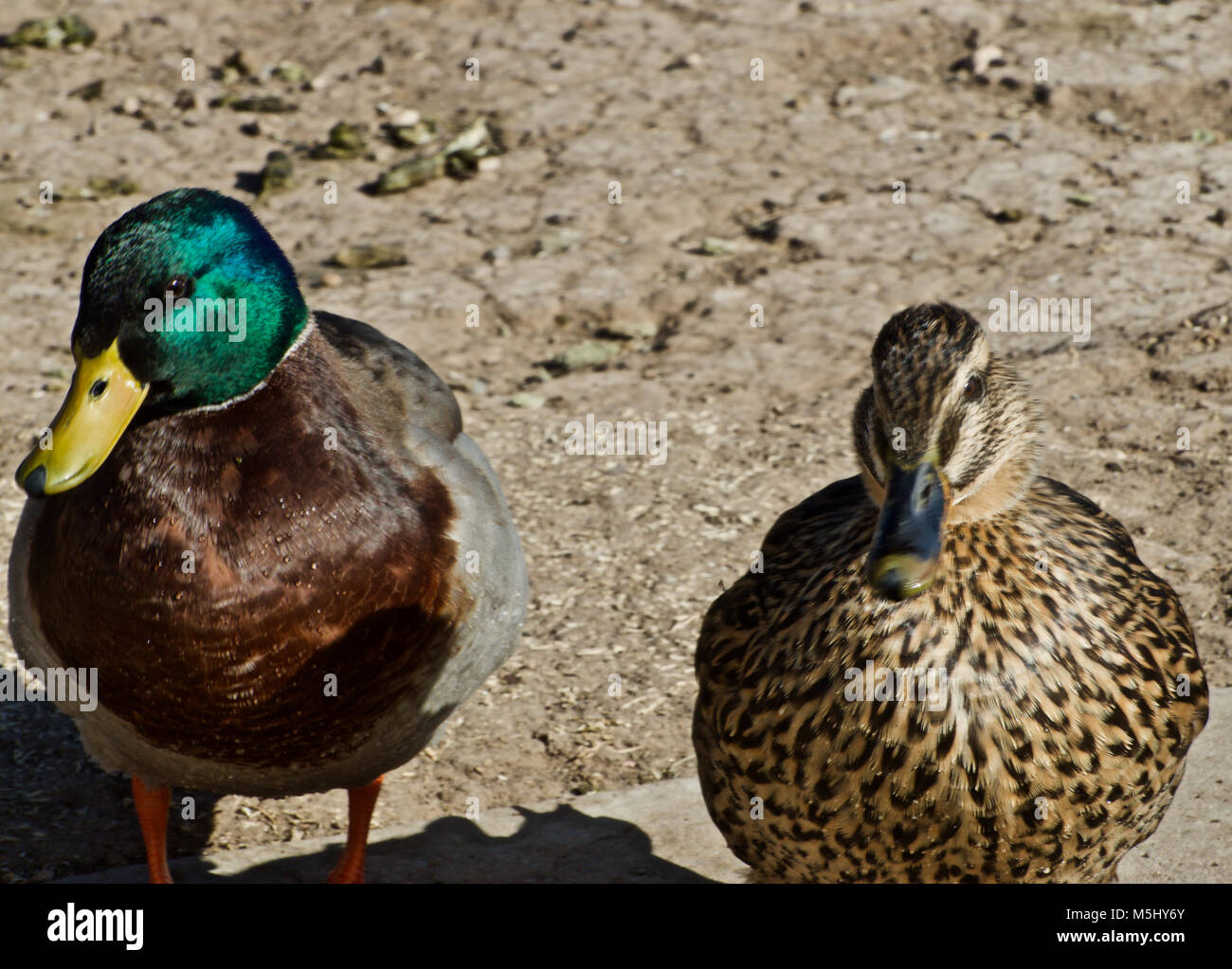 mallard Duck Pair at Rest Canyon, Texas Stock Photo