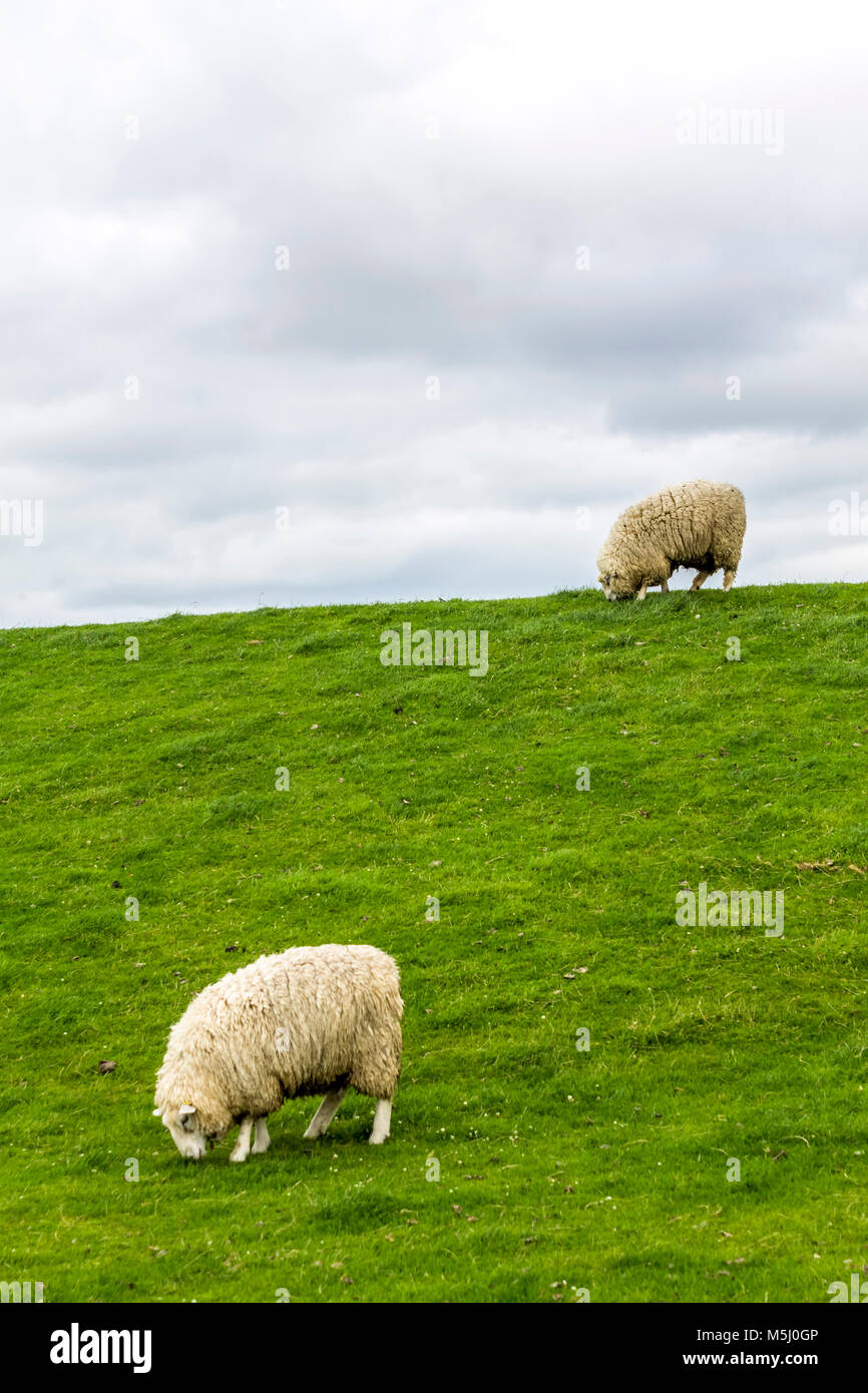 Germany, Schleswig-Holstein, Husum, sheep on dike - Stock Image