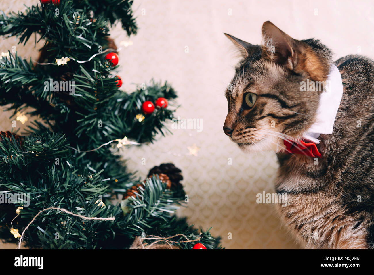 Tabby cat with collar and red bow tie at Christmas time - Stock Image