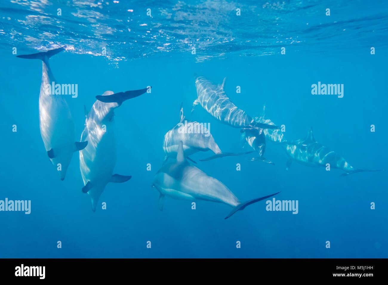 Mauritius, Indian Ocean, bottlenose dolphins, Tursiops truncatus - Stock Image