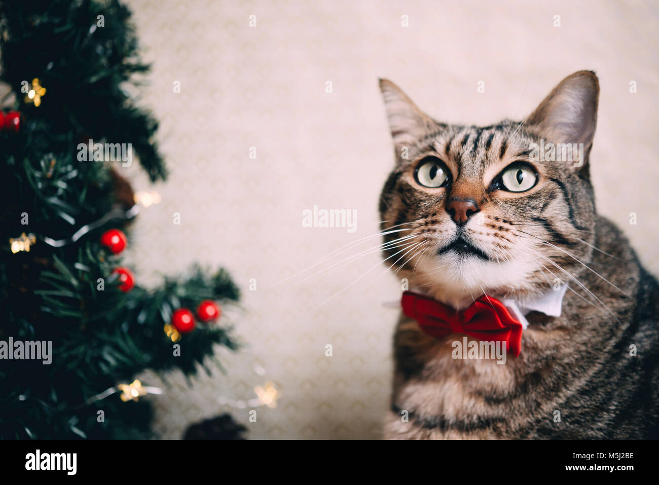 Portrait of tabby cat with collar and red bow tie at Christmas time - Stock Image