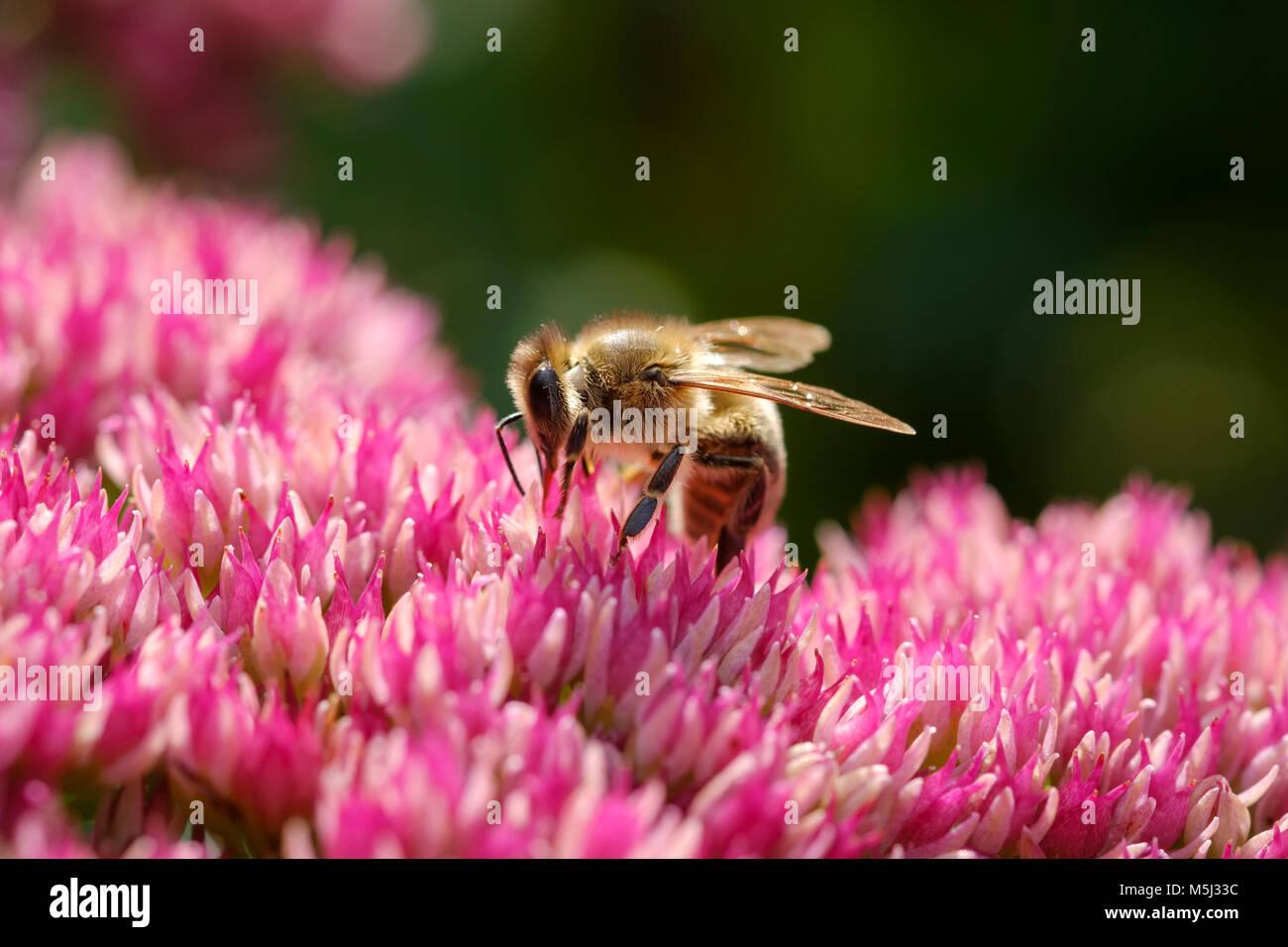 Honigbiene (Apis mellifera) auf Blüte von Fetthenne (Hylotelephium syn Sedum), Bayern, Deutschland - Stock Image