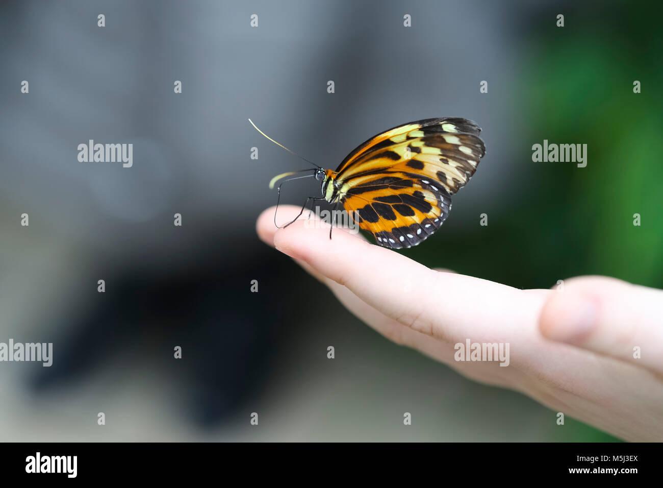Monarch butterfly, Danaus plexippus, sitting on hand - Stock Image