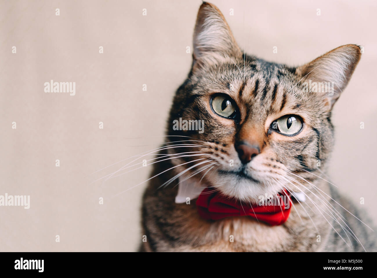 Portrait of tabby cat with collar and red bow tie - Stock Image