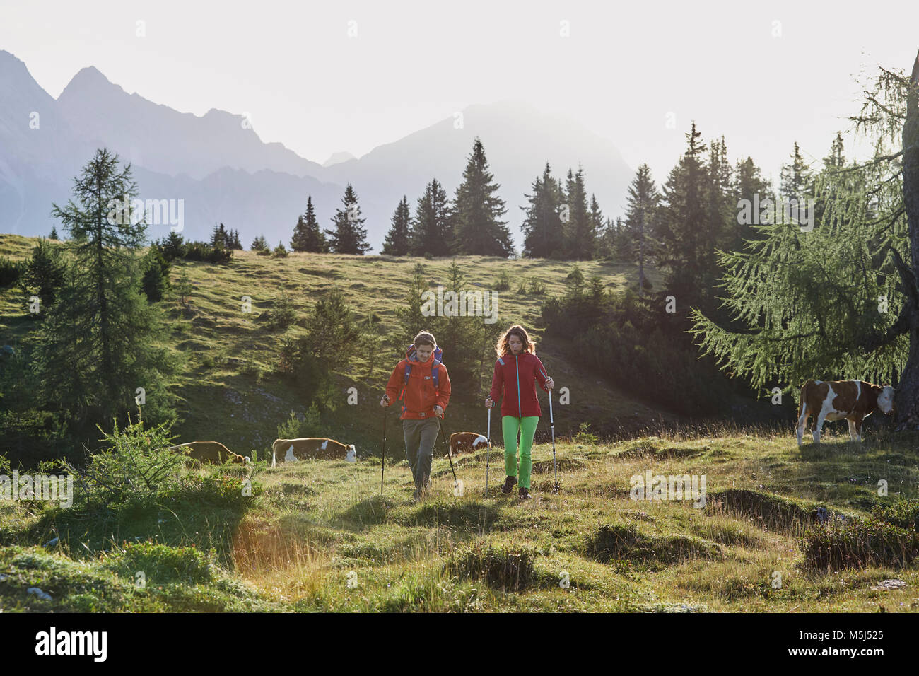 Austria, Tyrol, Mieming Plateau, hikers walking on alpine meadow with cows - Stock Image