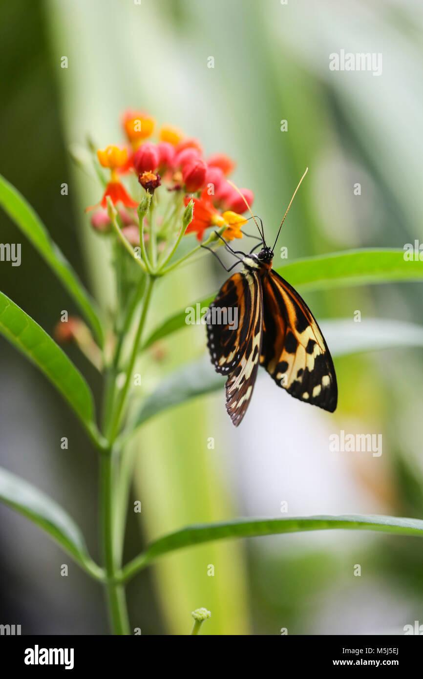 Monarch butterfly, Danaus plexippus, on blossom - Stock Image