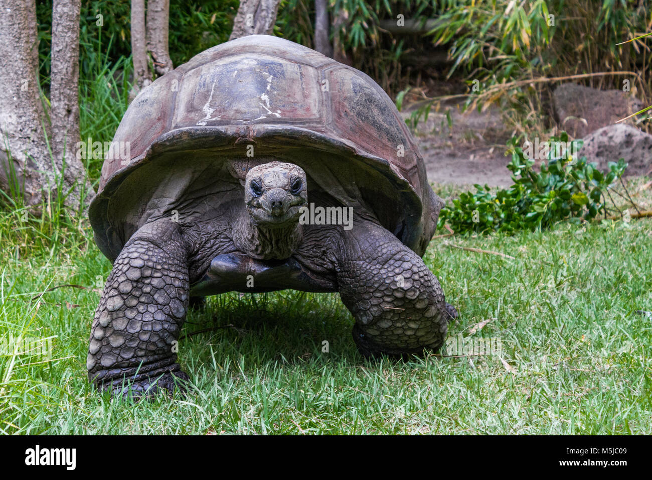 The Aldabra giant tortoise, from the islands of the Aldabra Atoll in the Seychelles, is one of the largest tortoises - Stock Image