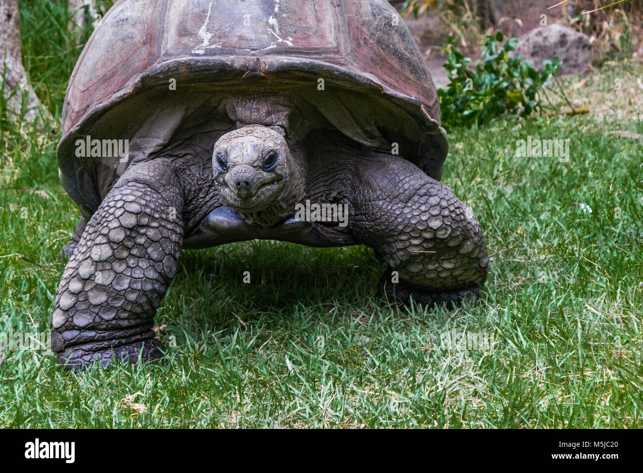 The Aldabra giant tortoise, from the islands of the Aldabra Atoll in the Seychelles, is one of the largest tortoises Stock Photo