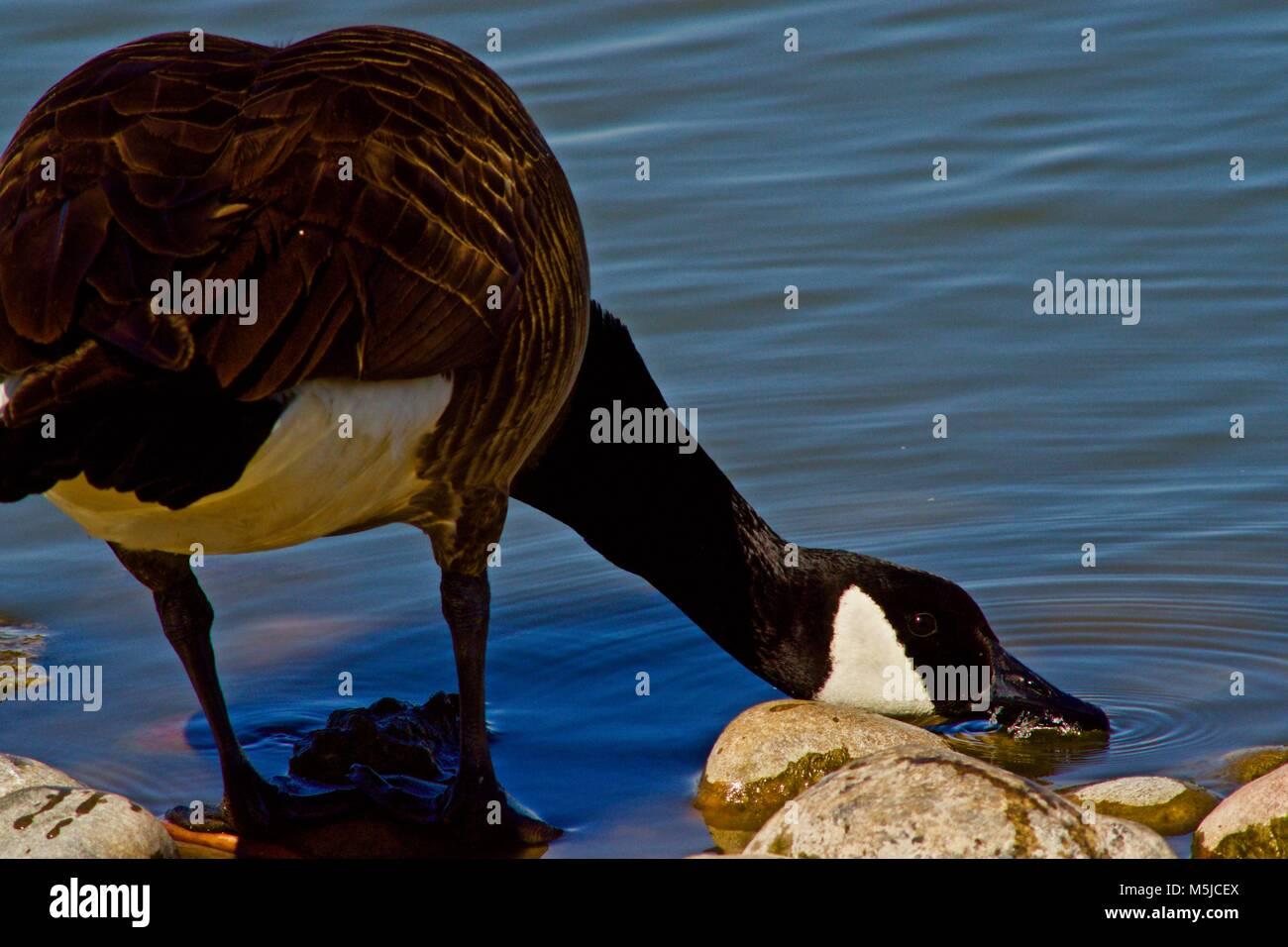Canada Goose at Lindsey Park Public Fishing Lake, Canyon, Texas Stock Photo