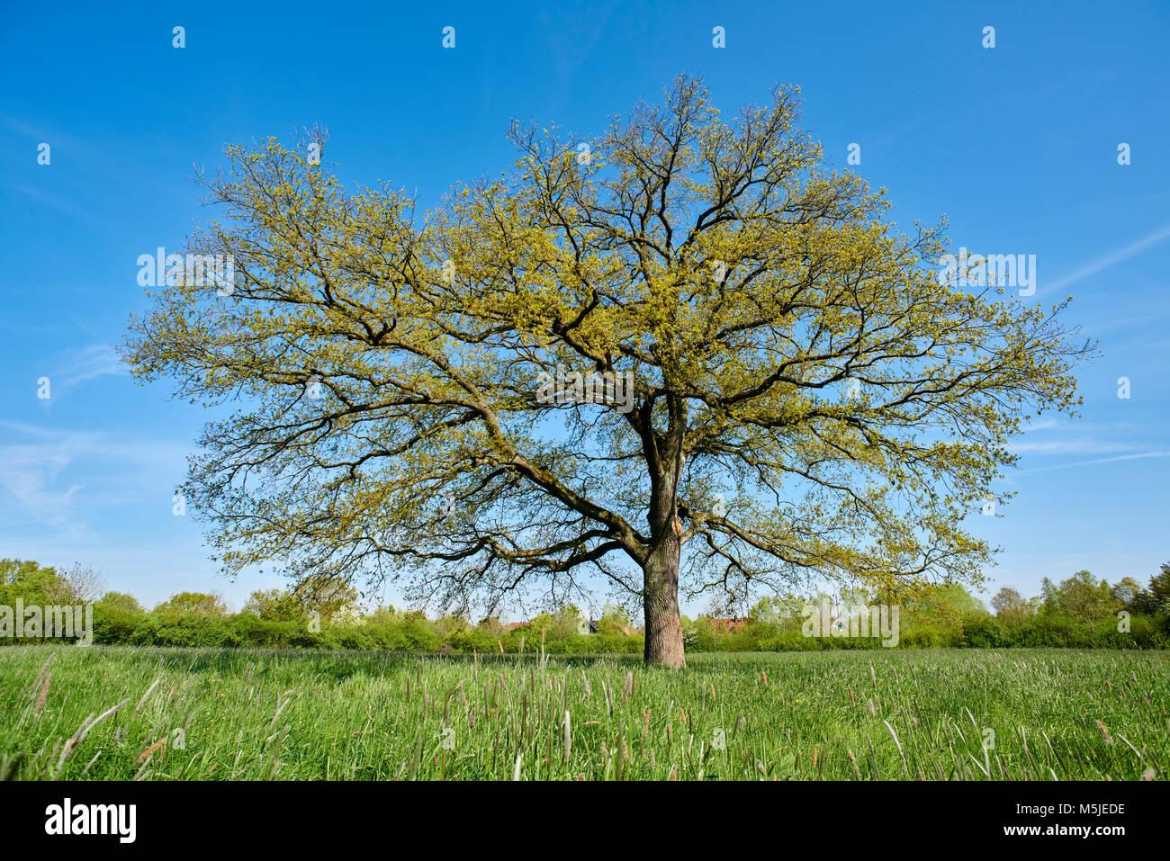 Eiche im Frühling - Stock Image