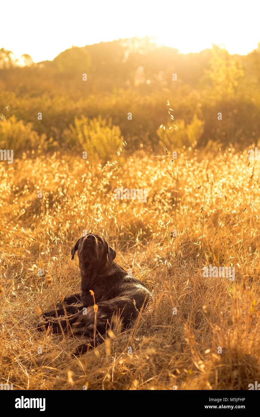 Dog Sitting in Long Grass and Day Dreaming in the Sunrise - Stock Image