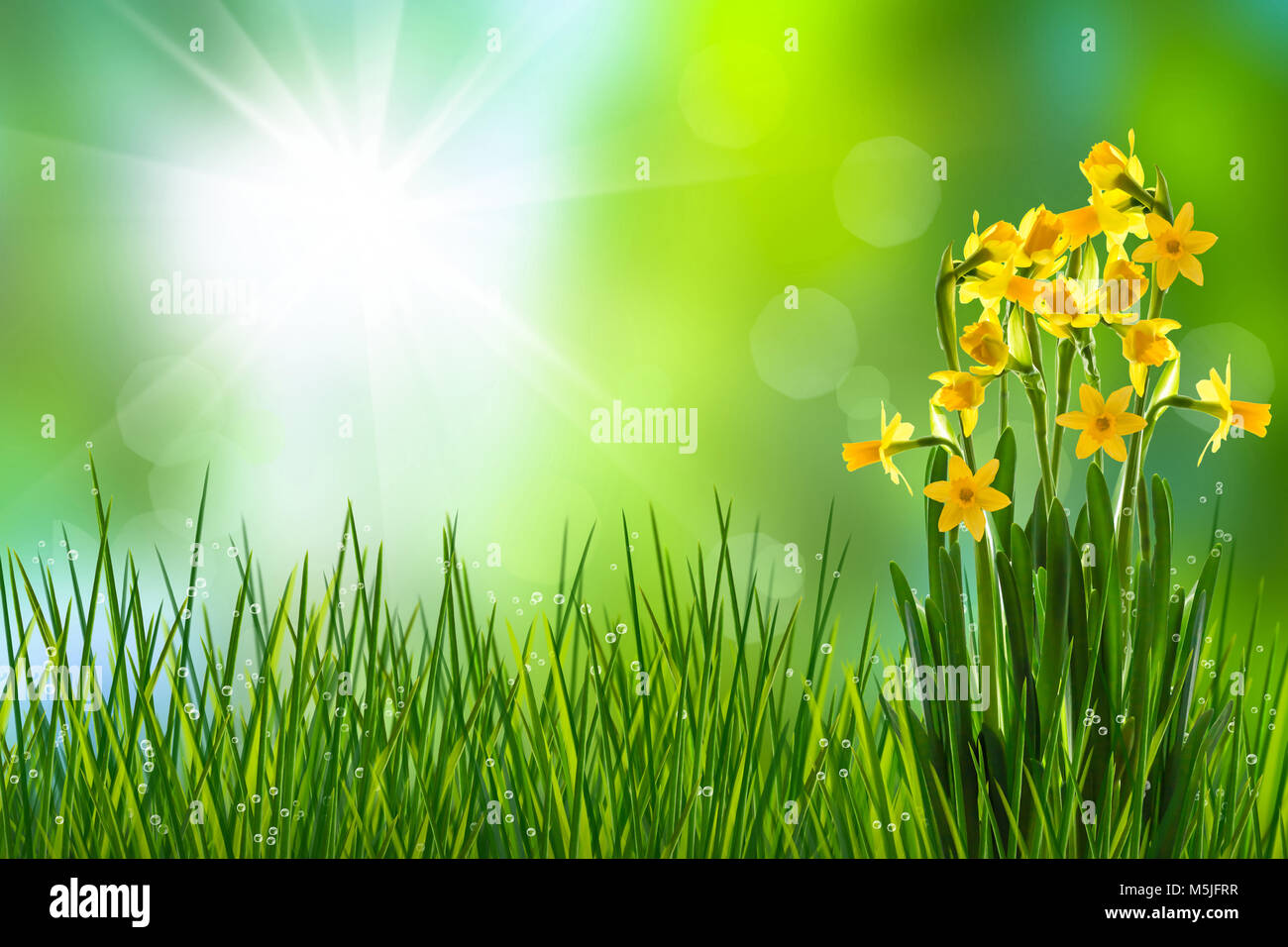 daffodils in meadow in spring time - Stock Image
