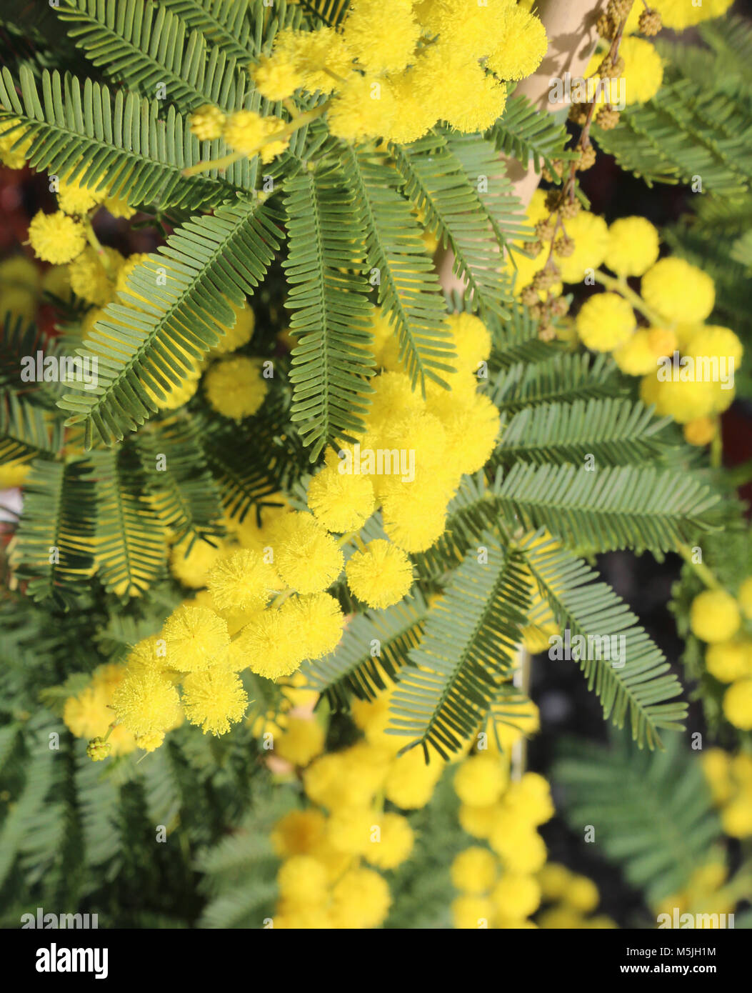 Background of yellow mimosa flowers symbol of international day of background of yellow mimosa flowers symbol of international day of women mightylinksfo