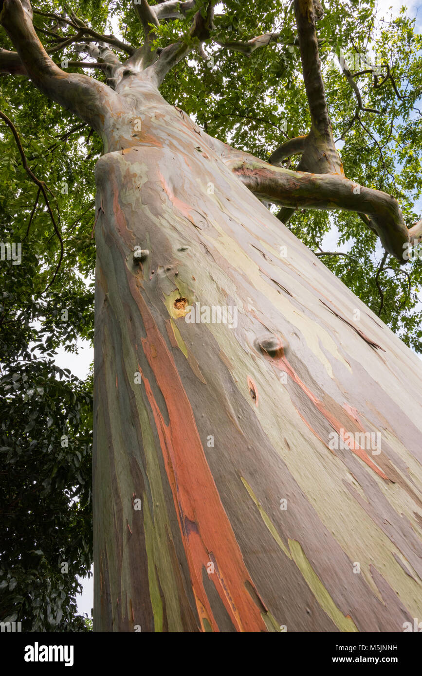 Rainbow Eucalyptus Tree (Eucalyptus deglupta), Grenada, Caribbean - Stock Image