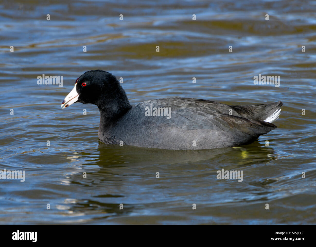 American coot - Fulica americana - or Mud Hen swimming in a lake. Full profile with detailed feathers and vivid, - Stock Image