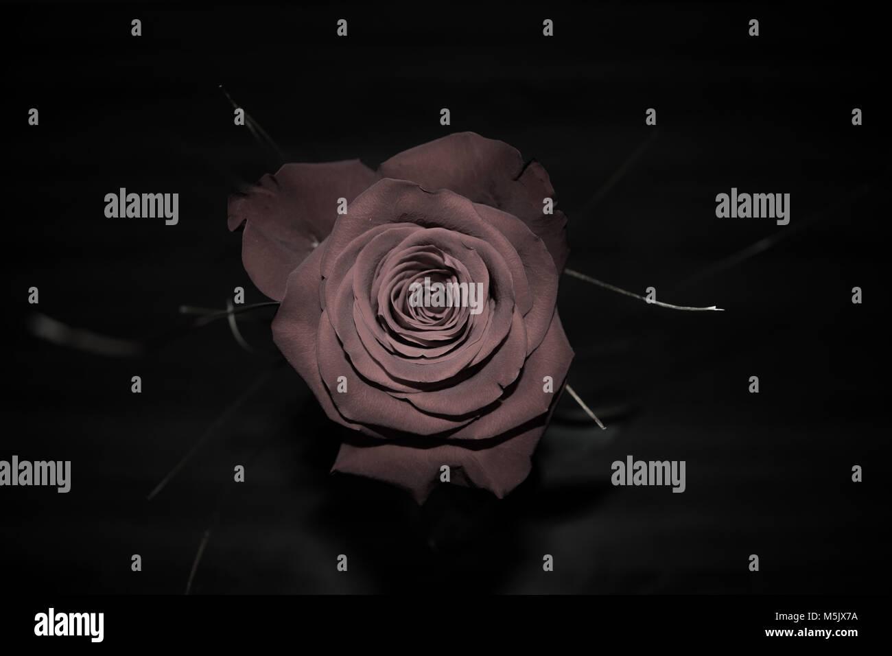 Dark Rose Dark Background Rose Is In Focus Some Light Stock Photo Alamy