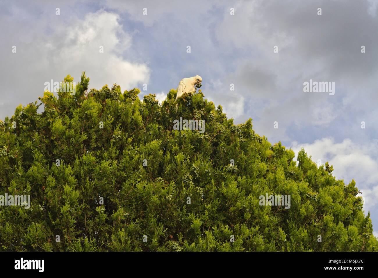 Little Corella, an Australian parrot, feeding on top of a tree, against a cloudy sky. Stock Photo