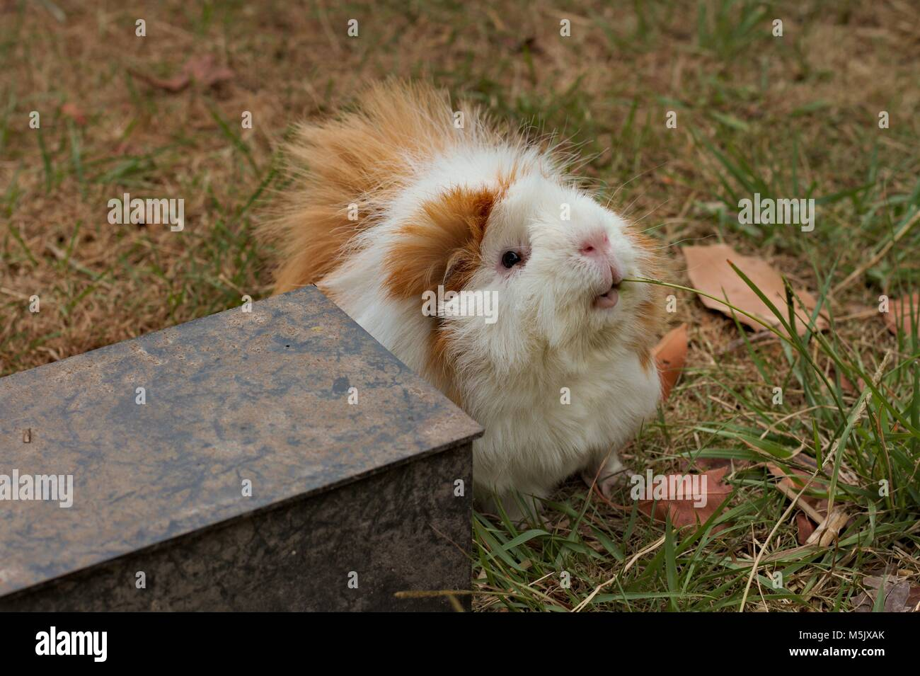 Brown and white Abyssinian guinea pig, cavy, eating grass on a dry lawn. Stock Photo