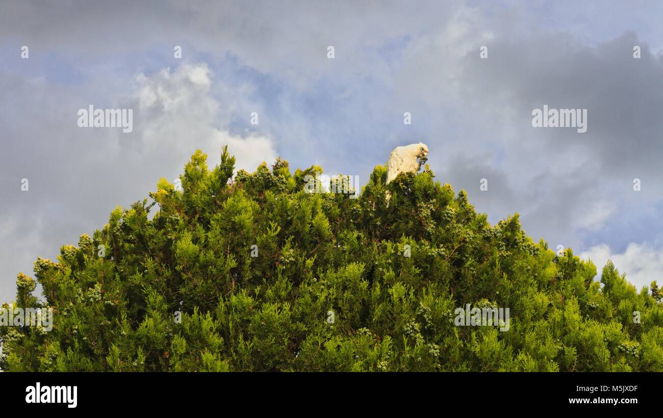 Little Corella, an Australian parrot, feeding on top of a tree, against a cloudy sky. Stock Photo
