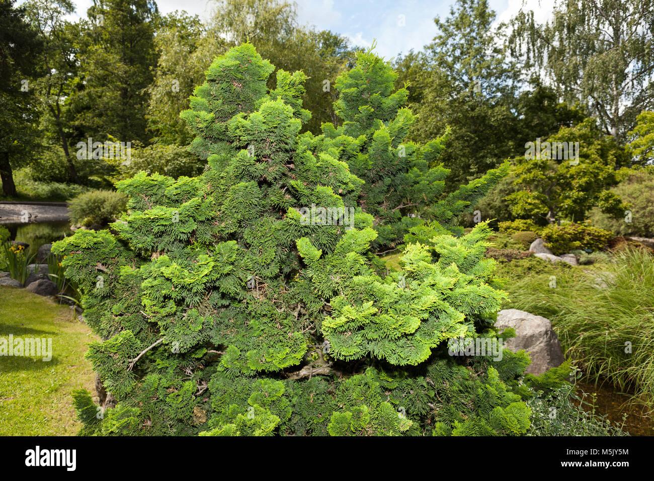 'Nana Gracilis' Japanese cypress, Japansk ädelcypress (Chamaecyparis obtusa) - Stock Image