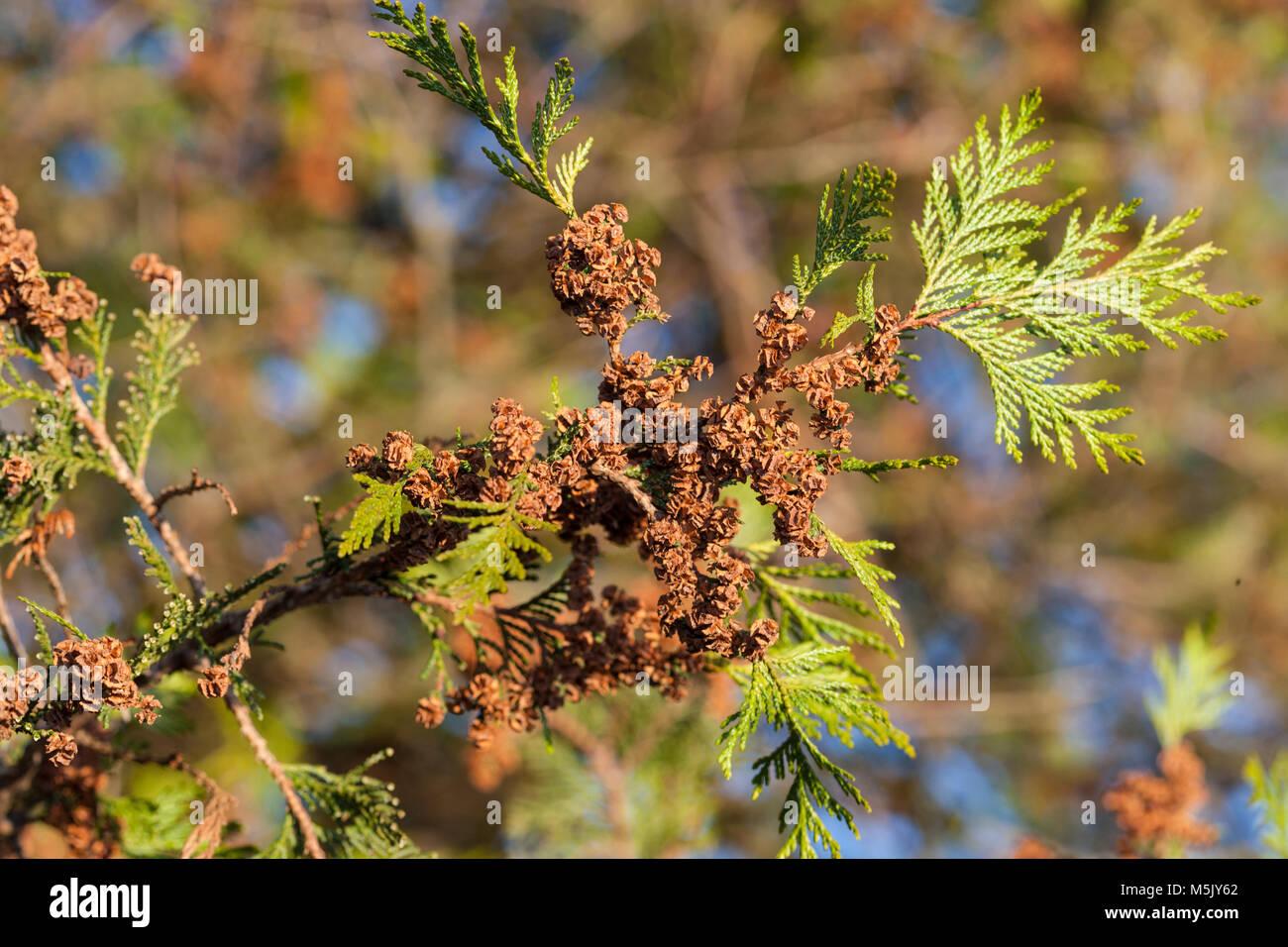 Sawara Cypress, Ärtcypress (Chamaecyparis pisifera) - Stock Image