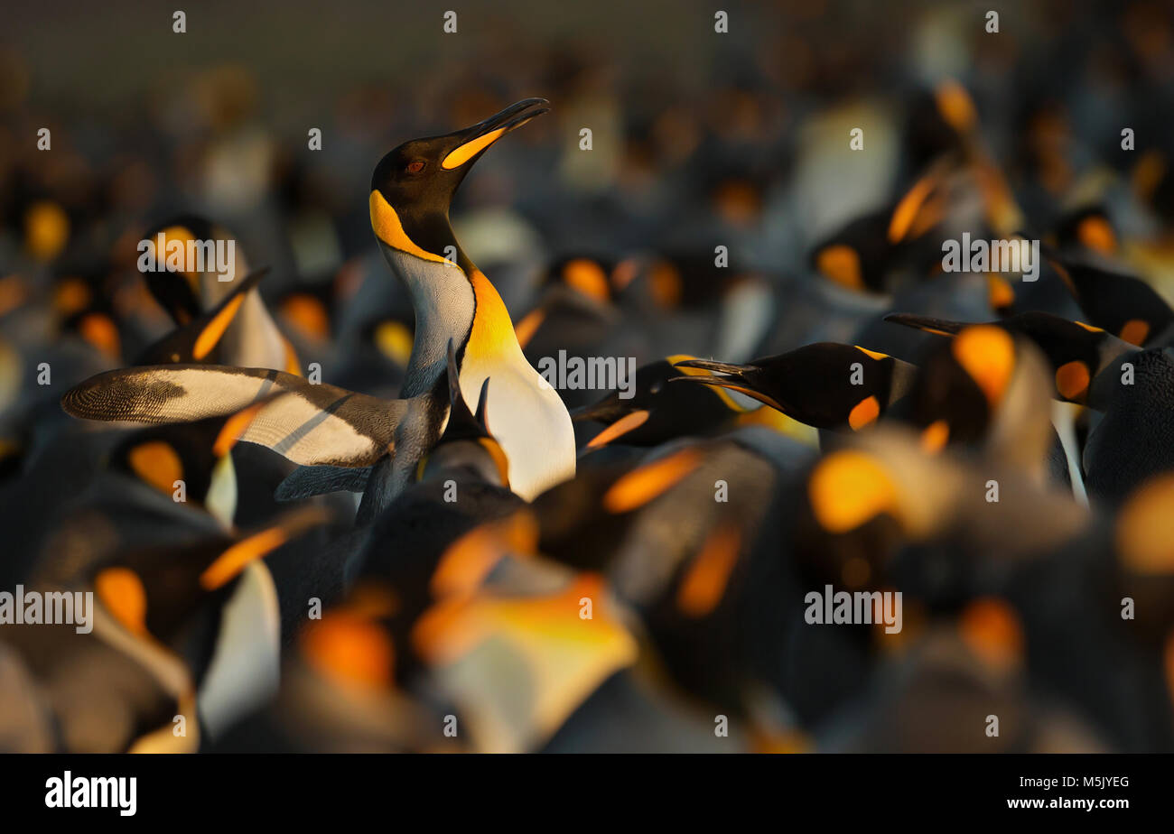 King penguins displaying aggressive behavior towards another King penguin during mating season, Falkland islands. - Stock Image