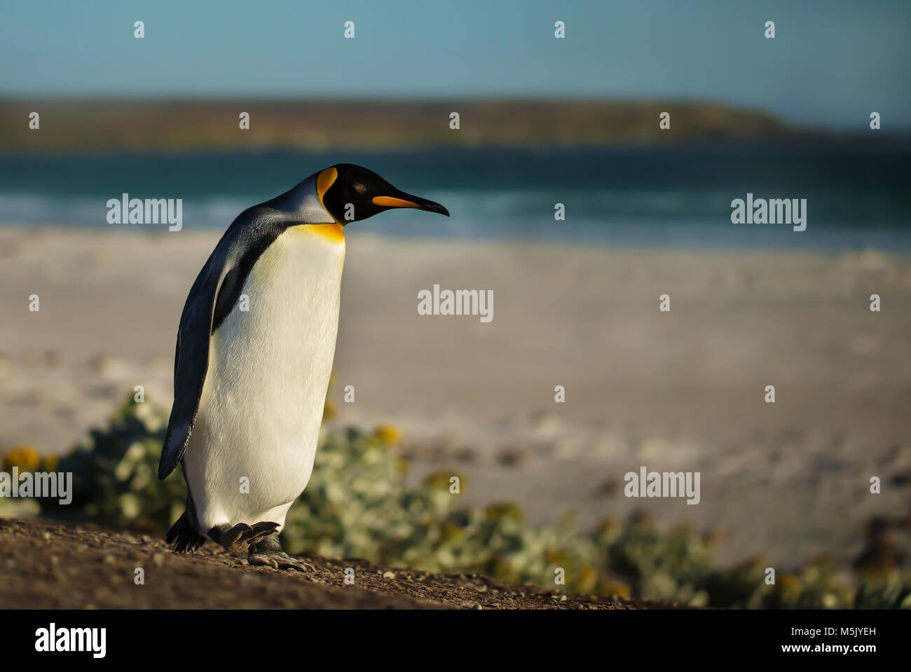 Close up of a King penguin walking on a sandy beach, summer in Falkland islands. - Stock Image
