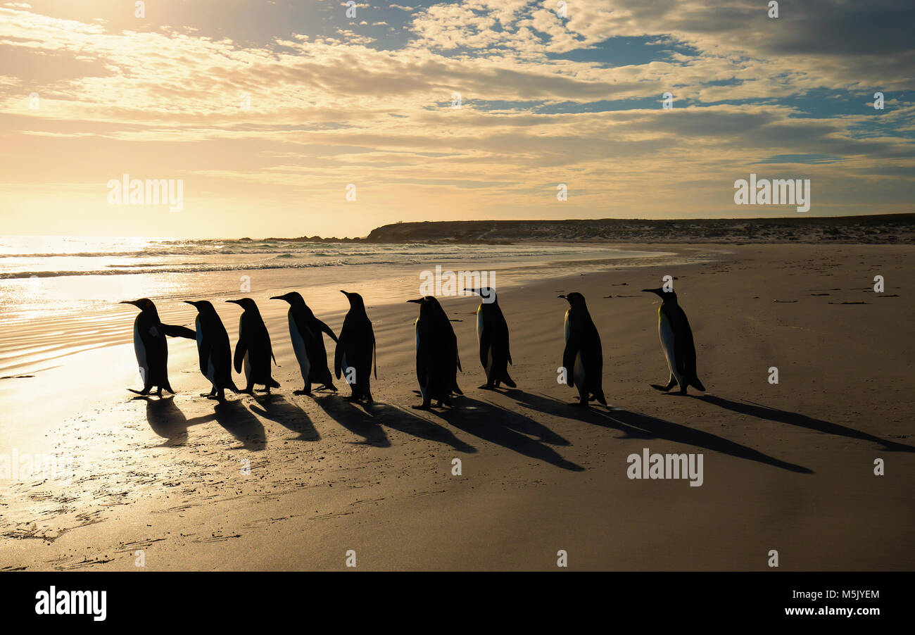 Group of King penguins (Aptenodytes patagonicus) walking towards the ocean on a sandy beach at sunrise, Falkland - Stock Image
