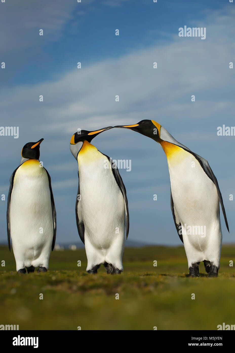 Three King penguins displaying aggressive behavior during mating season, Falkland islands. Stock Photo