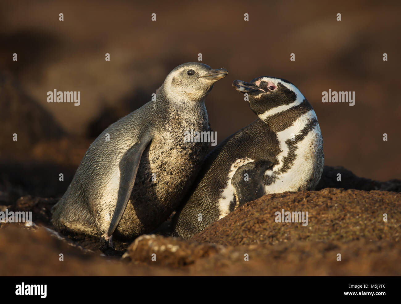 Close up of a Magellanic penguin (Spheniscus magellanicus) with a chick by a burrow, summer in Falkland islands. - Stock Image