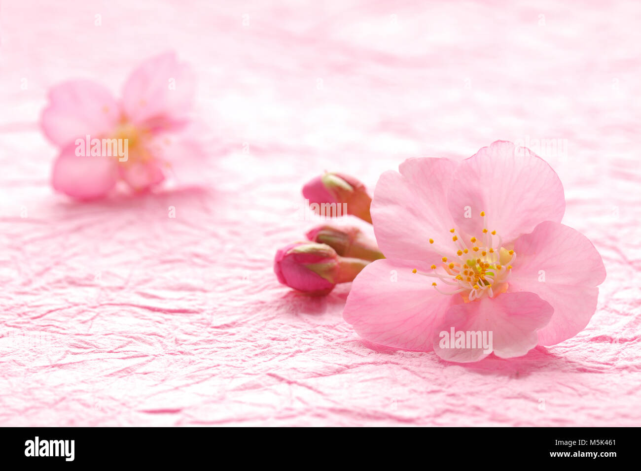 Cherry Blossom On Pink Paper Stock Photos Cherry Blossom On Pink