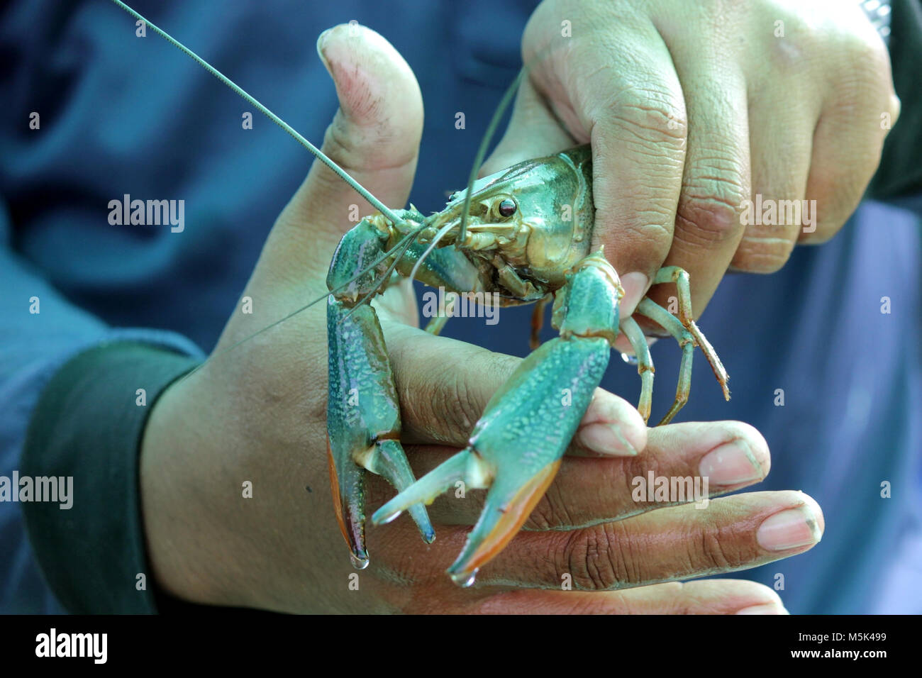 Alive Prawn Or Shrimp On A Man Hand Stock Photo Alamy