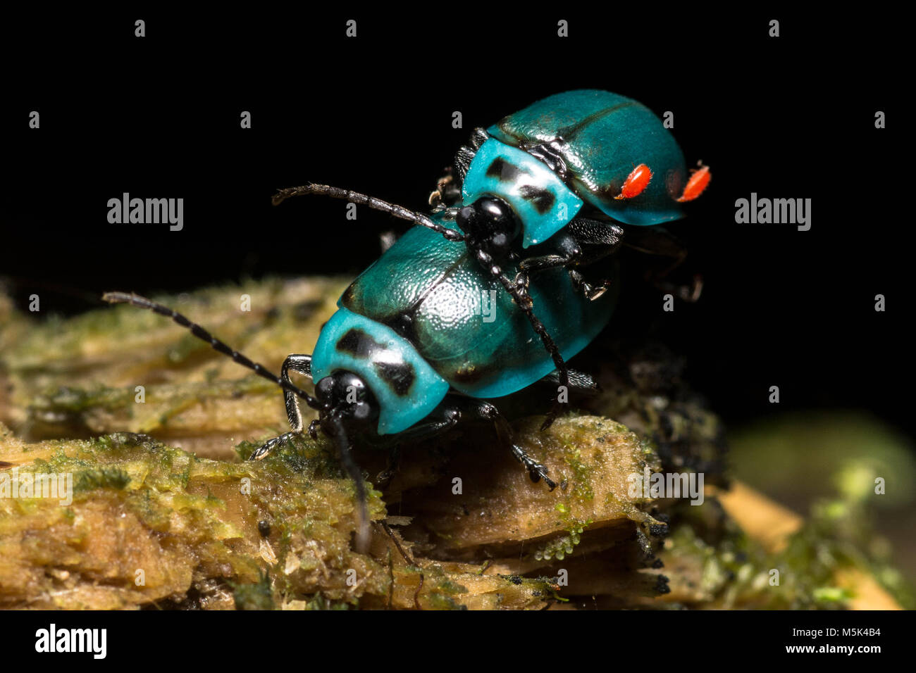 Two beautiful blue leaf beetles from Ecuador - Stock Image