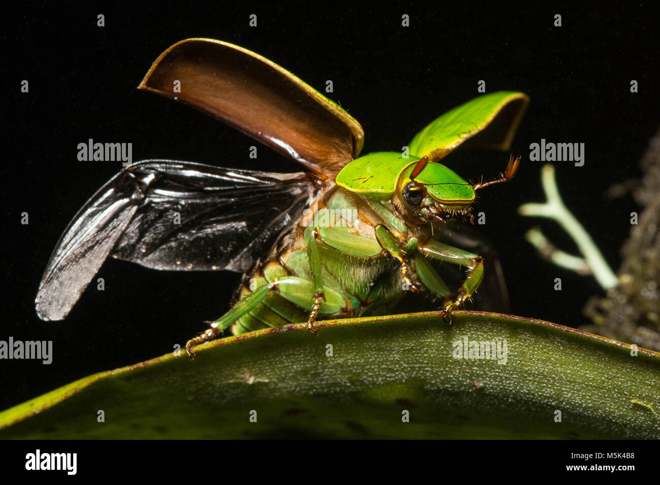 Jewel scarabs are among the most beautiful beetles in the world.  Here the beetle takes flight. - Stock Image